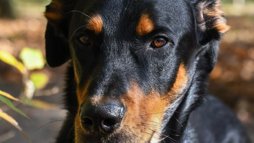 Beauceron: Neinfricat, vigilent, răbdător și LOIAL / VIDEO