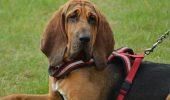 Inteligent, serios, activ, blând, prietenos! Într-un cuvânt Bloodhound