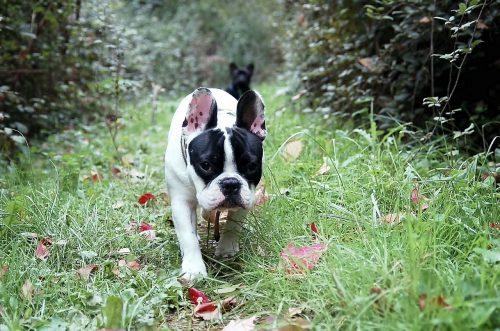 Bulldog francez