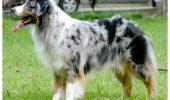 Câinele de Cireadă Australian, cel mai INTELIGENT din LUME / VIDEO