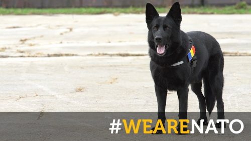 Faceți cunoștință cu Nord, câine polițist din România, care lucrează pentru echipa de căutare și salvare