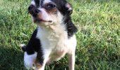 Ne-a făcut să ne ÎNGHEȚE sângele în vene. Ce a făcut un Chihuahua pentru a supraviețui!