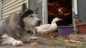 CAZUL lor a ULUIT o lume întreagă! Cum au devenit un câine și o raţă INSEPARABILI!