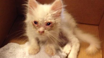Cunoști povestea cu RĂȚUȘCA cea URÂTĂ? Ei bine…o pisicuța amărâtă, găsita pe marginea drumului, s-a transformat într-o minunata FELINĂ DE RASĂ…