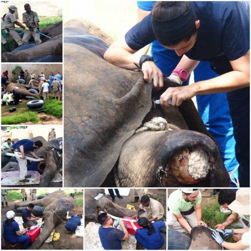 Senzațional! Câți oameni s-au implicat pentru a scăpa un elefant de o durere chinuitoare de dinți / VIDEO