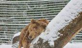 Reacția UIMITOARE a unui urs care a fost captiv 20 de ani și vede zăpadă pentru prima dată. Imaginile au început să facă înconjurul LUMII / VIDEO