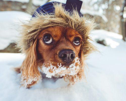 Cum trebuie îngrijit câinele de curte IARNA. Tot ce trebuie să știi despre adăpost și alimentație