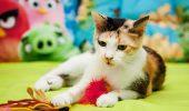 Daisy, o tricoloră dulce fară codiță, pentru ADOPȚIE! Află POVESTEA acestei pisicuțe care a uimit internetul