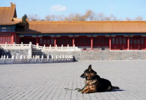 A guard dog waits to attend a daily training session at the Forbidden City in central Beijing, China February 12, 2018. Picture taken February 12, 2018. REUTERS/Jason Lee