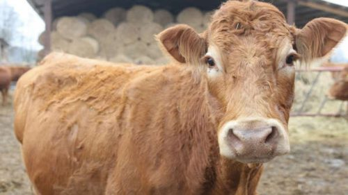 Te-ai gândit vreodată cât de inteligentă poate fi o vacă? A UIMIT LUMEA cu istețimea ei: A refuzat să se transforme într-un Biftec Tartar
