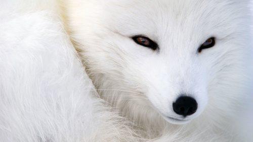 O vulpe polară, VEDETA ZILEI în Constanța / VIDEO