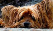 Curajosul, inteligentul și afectuosul Yorkshire Terrier