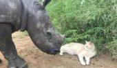 VIDEO. Mare PRIETENIE, MARE… Un pisoi și un pui de rinocer, cei mai buni amici
