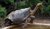 Țestoasa Diego a devenit subiect de tabloid pentru libidoul sau. Face AMOR zilnic cu șase femele. Motivul este UIMITOR