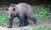 UIMITOR! Uite cine i-a luat LOCUL ursului Șoni, de la Lacul Sf. Ana