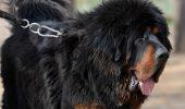 Este un ADEVĂRAT PERICOL! Mastiff-ul tibetan care s-a TRANSFORMAT în URS