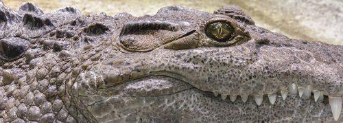 Cum a ajuns acest crocodil celebru în toată lumea. Povestea reptilei care a fost căutată mai mult de 10 ani este uimitoare