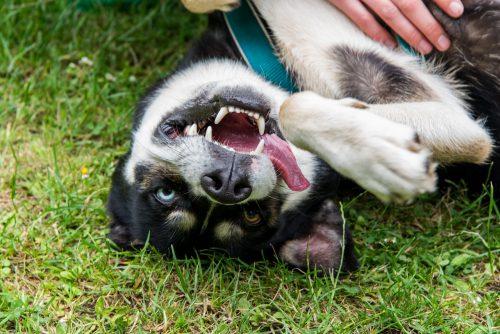 Care sunt sele mai GĂLĂGIOASE şi cele mai TĂCUTE rase de câini. Ce să îţi alegi?