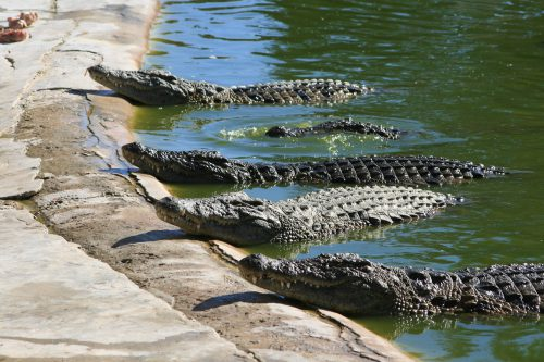 GROAZA a pus stăpânire pe autorități! Sute de crocodili au fost UCIȘI într-un acces de furie