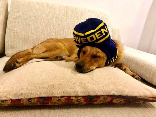 Ambasadei Suediei la București a CONFIRMAT! Uite Ce se întâmplă cu Pixie, cățelușa adoptată din Corbeanca