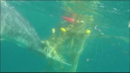 IMPRESIONANT! Ce s-a întâmplat cu UN PUI DE BALENĂ după ce s-a prins într-o PLASĂ anti-rechini / FOTO