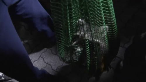 """UIMITOR! Uite de ce acest RATON a fost"""" ARESTAT"""". Locuitorii au rămas MUȚI când au văzut asta"""