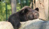 ȘOCANT! Max a MURIT după o grea suferință. Află poveste de viață a celui mai CHINUIT urs din România
