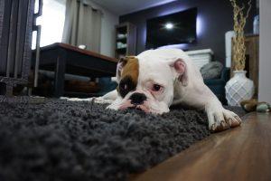 Topul celor mai leneși câini din lume! Aflați ce rase de câini urăsc să facă mișcare