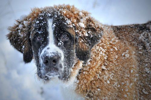 Cum trebuie să fie mâncarea câinelui iarna. Caldă sau rece? Cum…