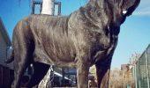 Eufrat este replica unui câine antic dispărut. Uite câte kilograme și ce înălțimea uimitoare are / Video
