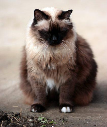 Totul despre obezitatea la pisici. Care sunt factorii favorizanți? / Foto