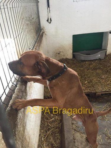 INCREDIBIL! Cum a ajuns acest CÂINE la ASPA Bragadiru? SHARE te rugam, ajută-l să fie ADOPTAT!