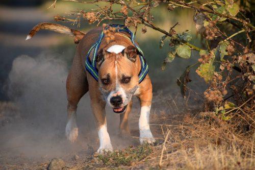 Câinii ucigași, mai tari decât autoritățile. Legea e drastică, dar greu de aplicat pentru stăpânii animalelor feroce