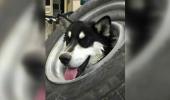 PREMIERĂ pentru veterinari! Un căţel NEASTÂMPĂRAT s-a băgat într-o încurcătură din care s-au chinuit zece oameni să-l SALVEZE