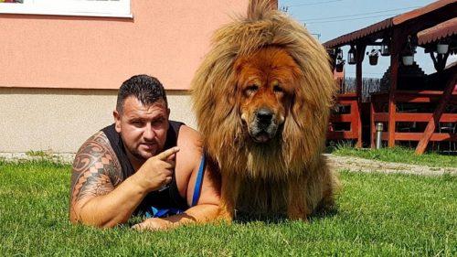 """Nu o să-ți vină a crede unde trăiește """"Boss"""", cel mai frumos mastiff tibetan din lume"""