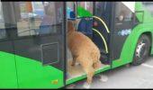 MARIAN GODINĂ, prins în flagrant! Va plăti SCUMP? Polițistul a explicat cum a ajuns Pablo în autobuz