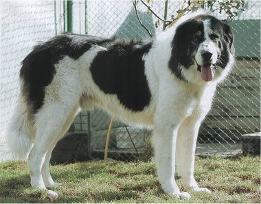 A fost OMOLOGATĂ definitiv a treia rasă de CIOBĂNESC ROMÂNESC de Bucovina. Este vorba de o rasă de câine de PAZĂ / VIDEO