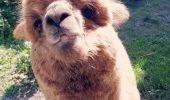 Pablo, alpacaua lui Godină, are o nouă înfățișare! Uite cum arată ACUM simpaticul animal / FOTO