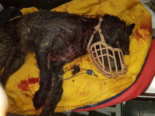 """IMPRESIONANT! Acest câine plin de sânge a fost folosit pentru LUPTELE cu câini. După ce a fost rănit grav """"stăpânii"""" l-au ABANDONAT"""