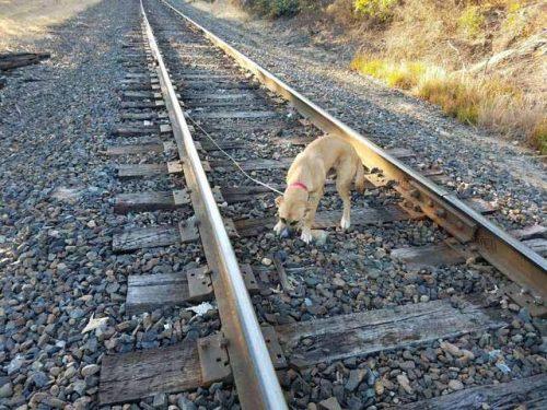 """Încă un caz șocant! """"Stăpânul"""" și-a legat câinele pe calea ferată și l-a lăsat acolo. Povestea lui Samson este incredibilă"""