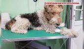 UPDATE! VIDEO! Cu ce sumă a fost AMENDATĂ proprietara câinelui Amstaff care a atacat un cățel în București