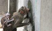 Descoperire șocantă! Maimuțe lăsate să moară de sete. Cercetătorii sunt uimiți