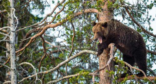 S-a aflat ADEVĂRUL despre bărbatul salvat din bârlogul unui urs, unde ar fi fost blocat timp de o lună