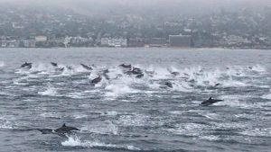 IMAGINI SPECTACULOASE care te vor lăsa fără cuvinte! O șalupă, escortată de sute de DELFINI / VIDEO