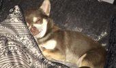 """Cine este făptașul care a RĂPIT un câine! Stăpâna lui Gizmo este DISPERATĂ: """"Vă rog, dacă cineva găsește un câine chihuahua, e al meu…"""""""