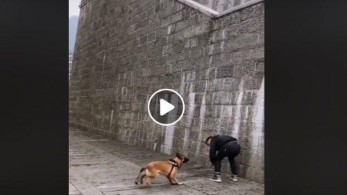 """Un câine este considerați de mulți un adevărat fenomen! Sare un zid """"cât ai zice pește"""" / VIDEO"""