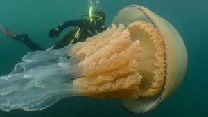 Descoperire de senzație! Meduză uriașă, de dimensiunea unui om! Specialiștii sunt uimiți / VIDEO