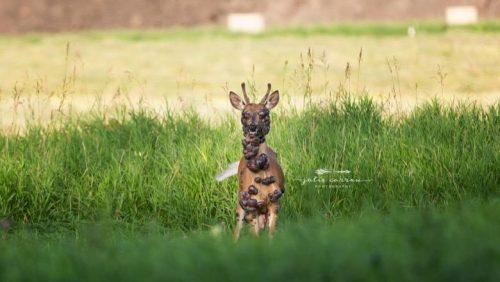 Imagini de coșmar surprinsă de un fotografcu o căprioară. Animalul e plin de… Atenție, imagini cu un puternic impact emoțional!
