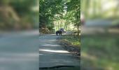 Gestul unui șofer a uimit România! A încearcă să lovească cu maşina o ursoaică