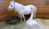 Încă o prietenie NEOBIȘNUITĂ! Un ponei și un gâscan împart aceeași casă. Sunt senzaționali / VIDEO